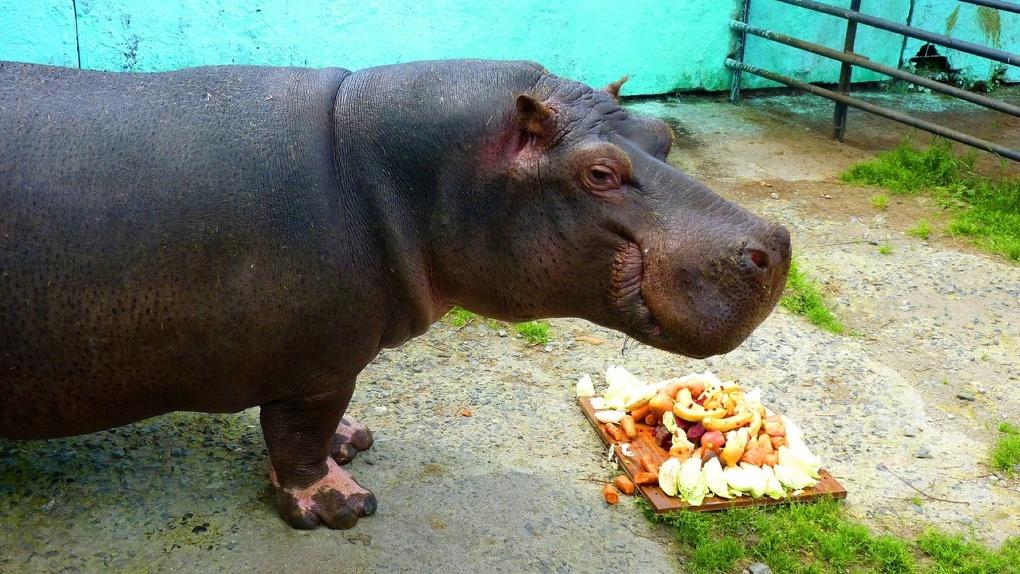 Бегемот Кениг в Большеречье отметил юбилей гигантским тортом из капусты и бананов