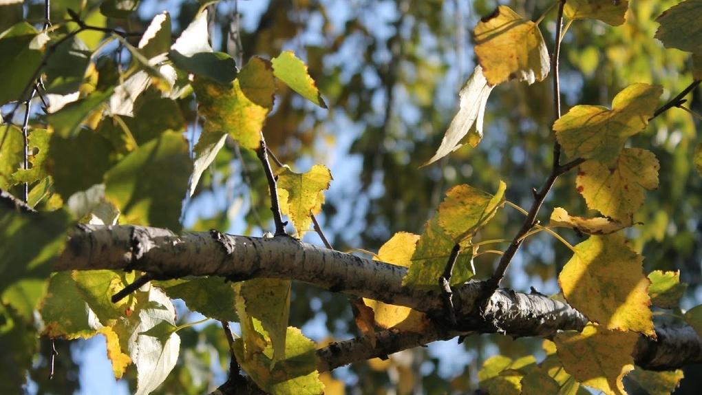 В Омске высадили почти 2 000 деревьев