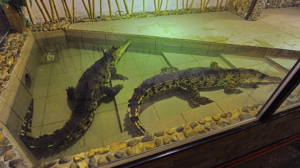Ко Дню влюбленных в Омск привезут пару крокодилов