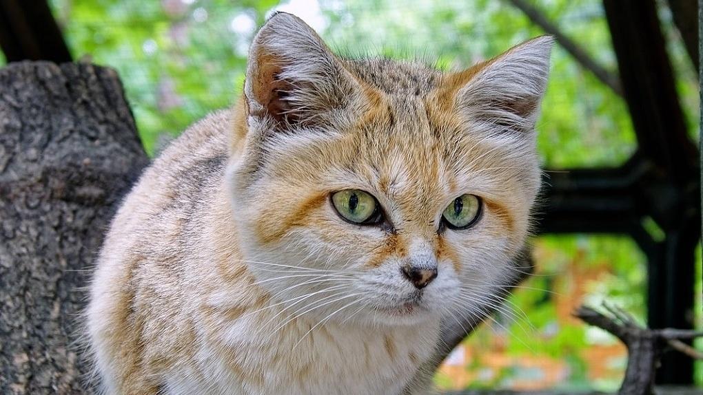 В Новосибирский зоопарк барханному коту привезли невесту из Франции