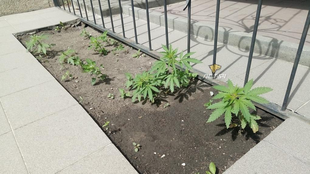 Такие себе цветочки: в Новосибирске на клумбе у администрации выросли кусты конопли