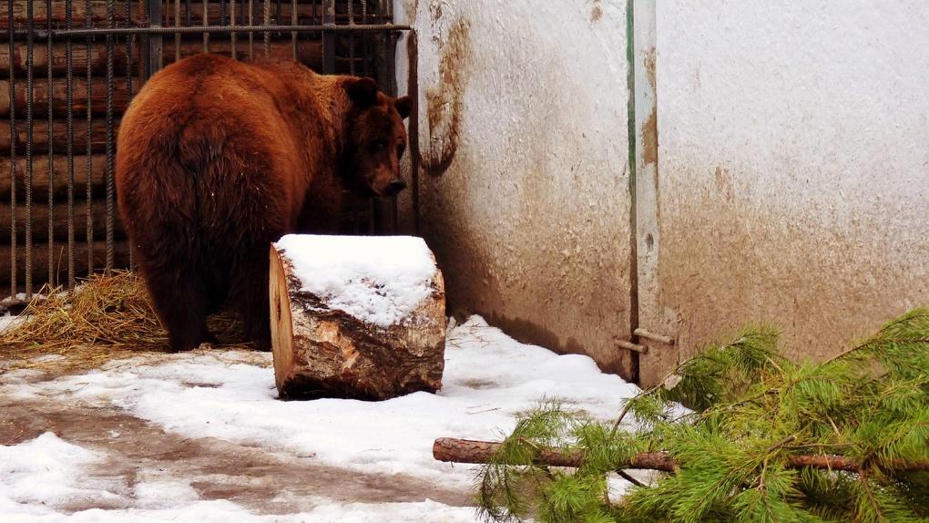 В Большереченском зоопарке медведица Маша родила троих медвежат