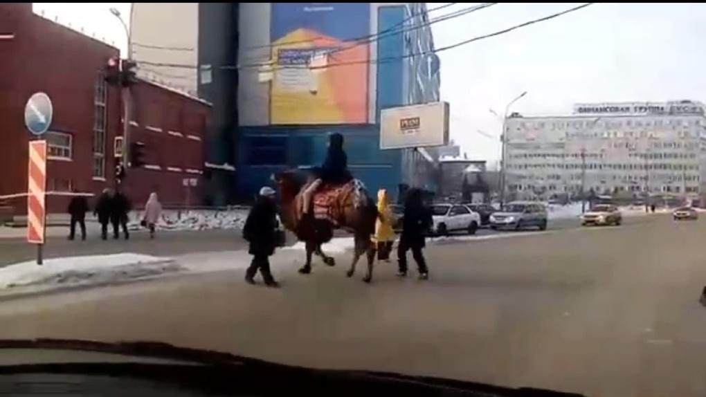 Центр Новосибирска переезжали извозчики на верблюде и единороге
