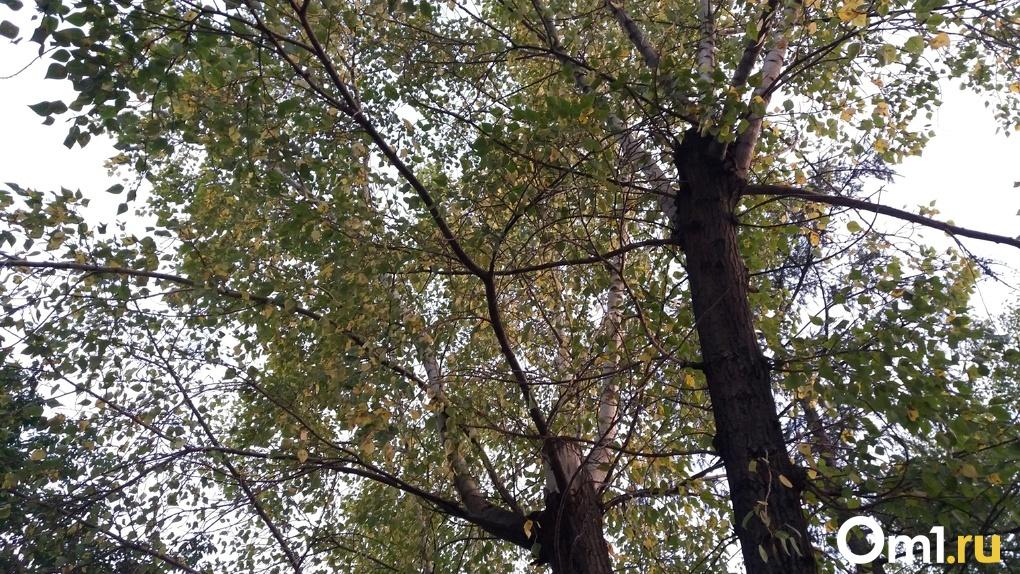 Неужели лето кончилось? Новосибирцев шокировали жёлтые деревья и опавшие листья