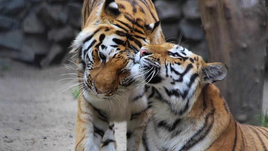 В Новосибирском зоопарке проходит День амурского тигра и дальневосточного леопарда