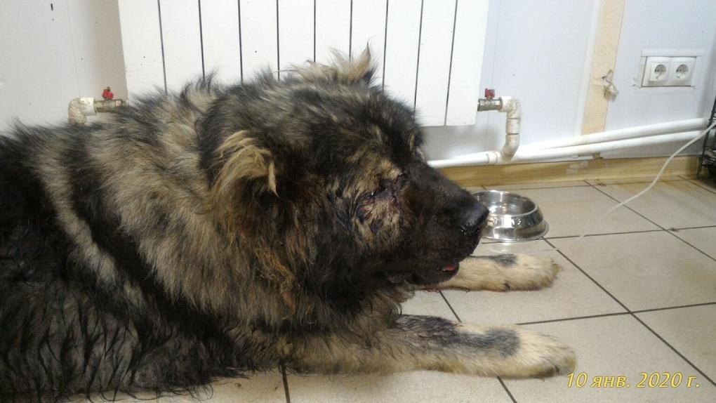 Под Омском расстреляли домашнего пса, который катал ребёнка на «ватрушке»