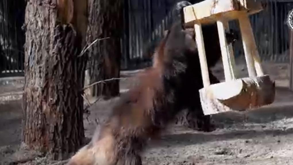 В Новосибирском зоопарке показали, как охотится росомаха
