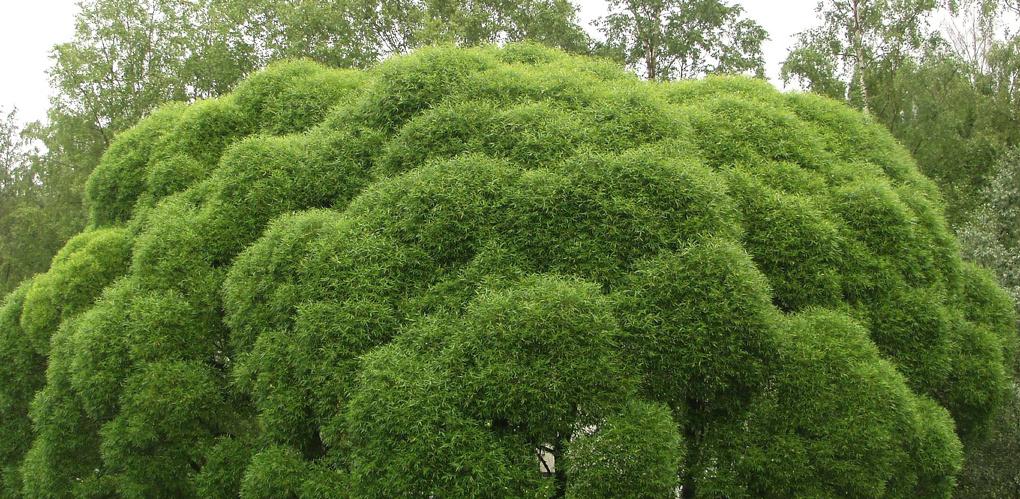 Омскую мэрию заподозрили в «краже» деревьев из Порт-Артура