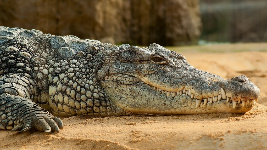 «Может укусить за руку»: новосибирцы продают метрового крокодила Геннадия