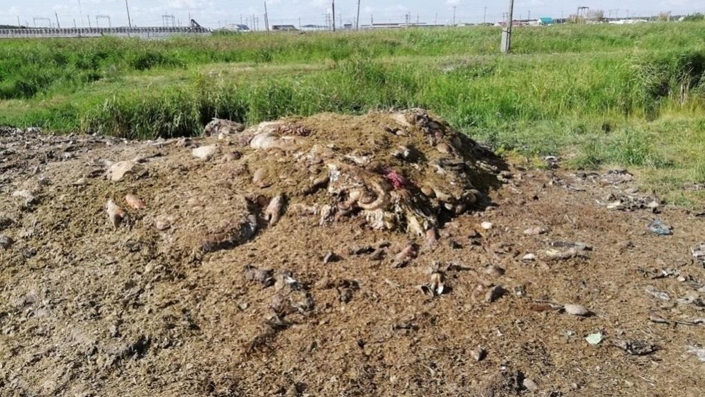 Новосибирская прокуратура заинтересовалась гниющими трупами животных в Барабинске