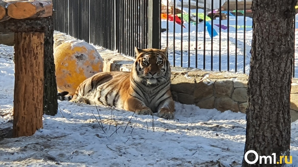 В зоопарке Омской области амурские тигры заселились в утеплённые дома с бассейном