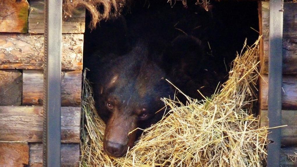 В Большереченском зоопарке уснул только один медведь – ФОТО