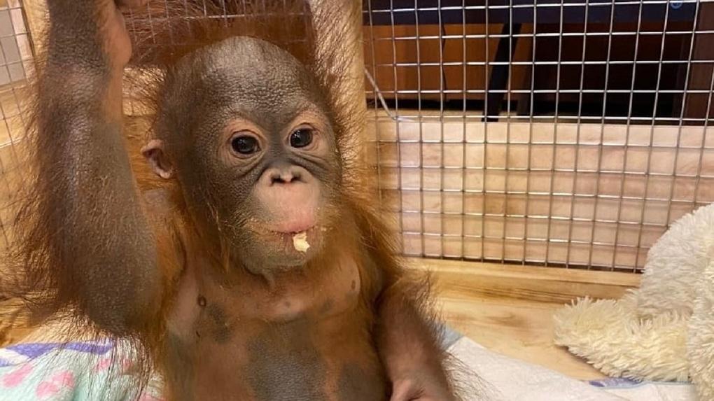 Обезьяну-сироту из Новосибирского зоопарка познакомят с родителями