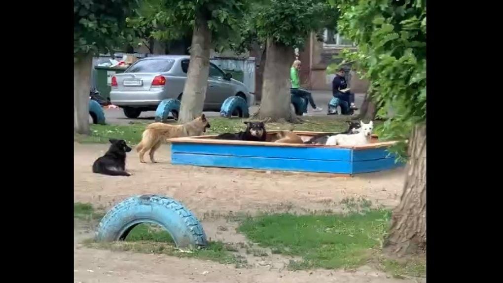 «Это страшно»: стая бродячих собак разорвала кошку и оккупировала детскую площадку в Омске