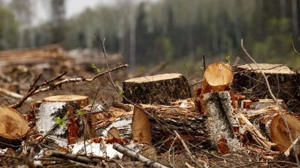 В Омской области продолжают орудовать «черные» лесорубы