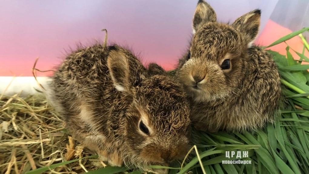В Новосибирске кот спас новорожденного зайца от гибели