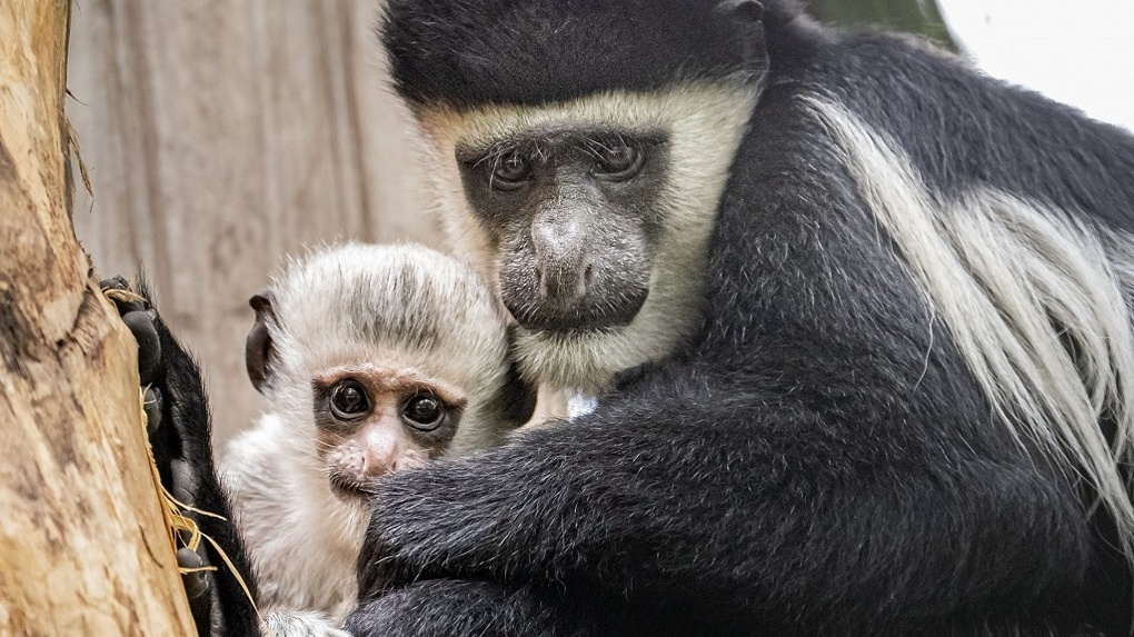 Детский сад для обезьян: в Новосибирском зоопарке показали забавные снимки приматов