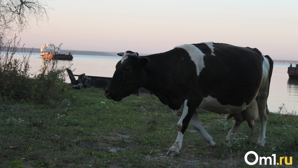 Животноводы Новосибирской области получат господдержку 200 миллионов рублей