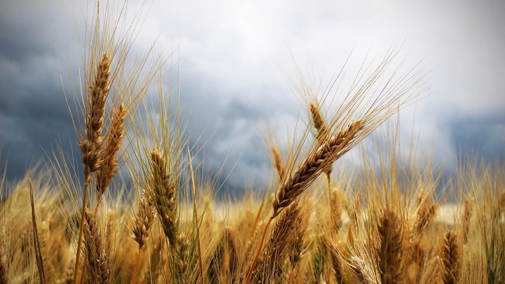 Омское зерно незаконно возят в Казахстан