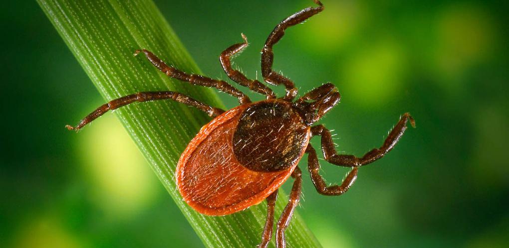В Омской области три человека заразились от укусов клещей