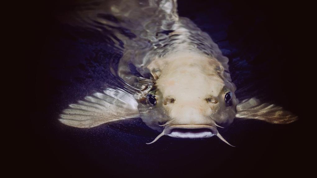 Ценную рыбу теперь выращивают в Новосибирской области