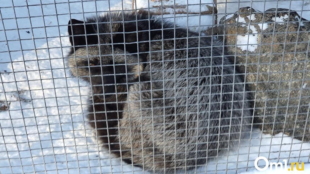 Введён карантин по бешенству. В коттеджном посёлке Омска обнаружили опасного зверя