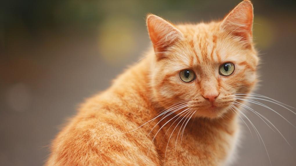 В Новосибирске спасли рыжего кота, который застрял вниз головой между батареей и кухонным столом