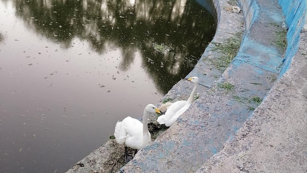 «Не плавают, а сидят на бетоне»: в Омск привезли лебедей и поселили их в грязный водоем