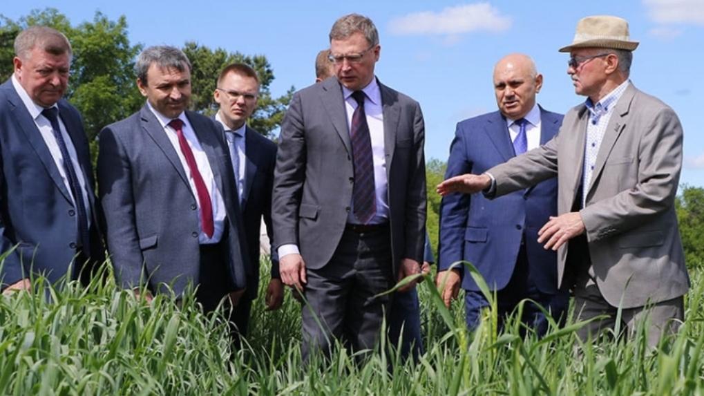 В Омске выращивают пшеницу, устойчивую к неблагоприятной погоде