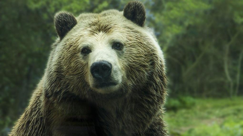 В Новосибирской области медведь растерзал шестерых коров
