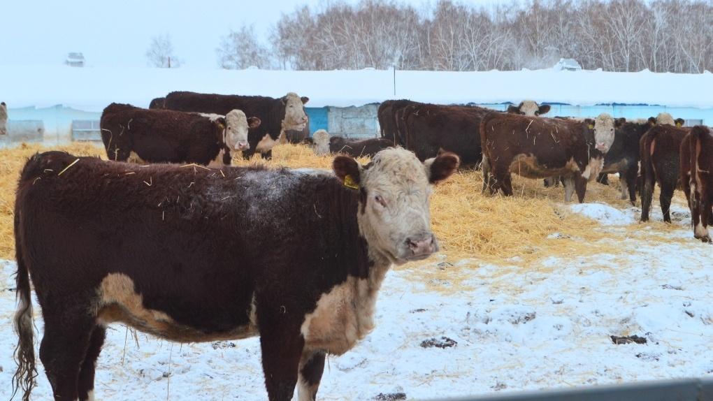 Омским фермерам помогут с племенными телочками