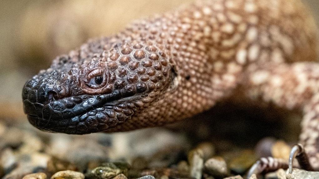 В Новосибирском зоопарке рассказали, зачем кормят ядовитых ящериц «с ложечки»