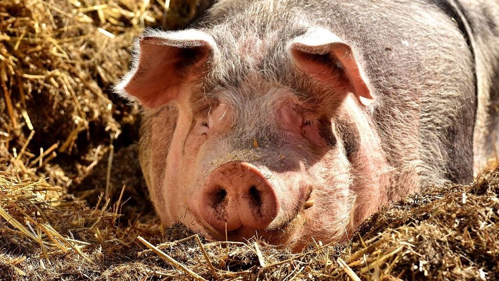 В Новосибирске в Кудряшовский свинокомплекс вложат ещё 2 миллиарда рублей
