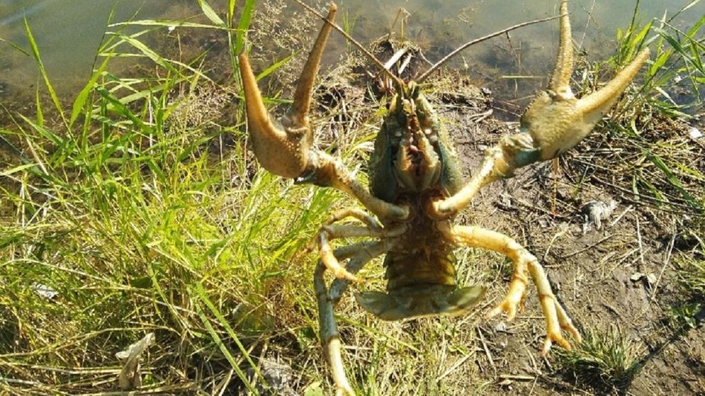 Стало известно, на какую наживку омичи ловят раков в Иртыше