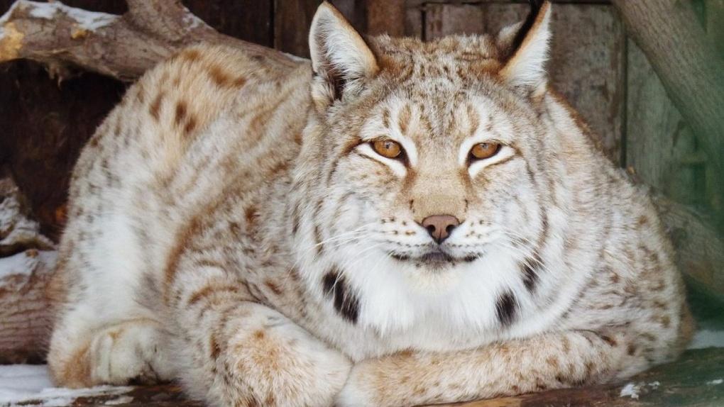 В Большереченский зоопарк в обмен на сурикатов привезли рысь – ФОТО