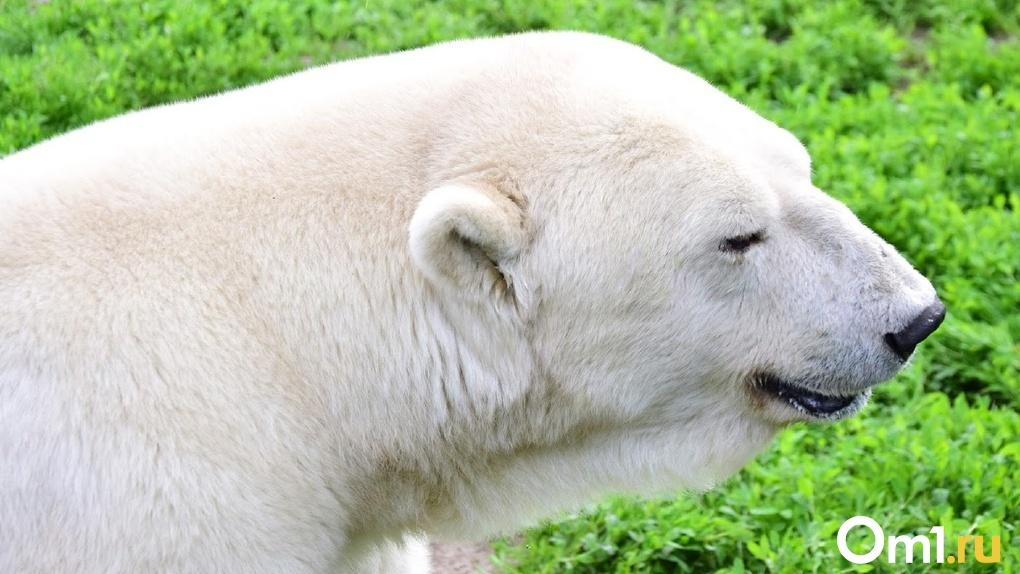 Отвлекитесь от коронавируса: в Большереченском зоопарке медведица Забава изучает свой вольер – ВИДЕО
