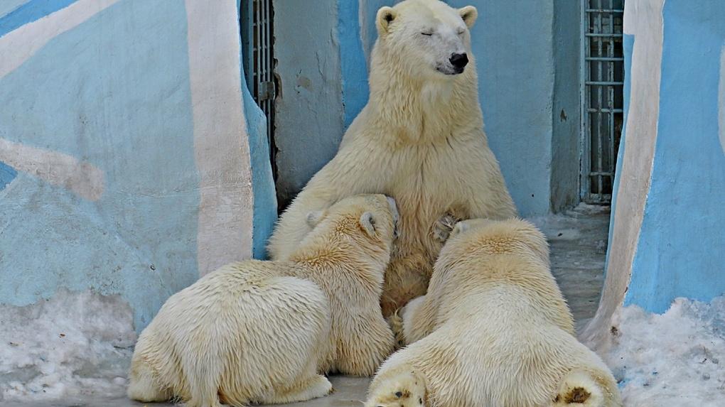 Новосибирский зоопарк приглашает на день рождения знаменитой белой медведицы
