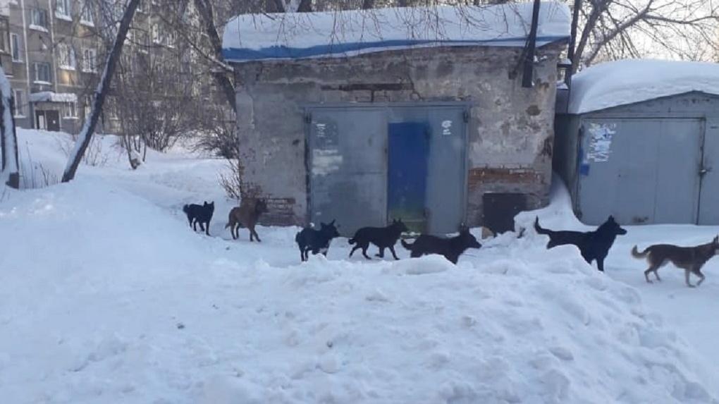 Стая бездомных собак держит в страхе жителей нескольких улиц Новосибирска