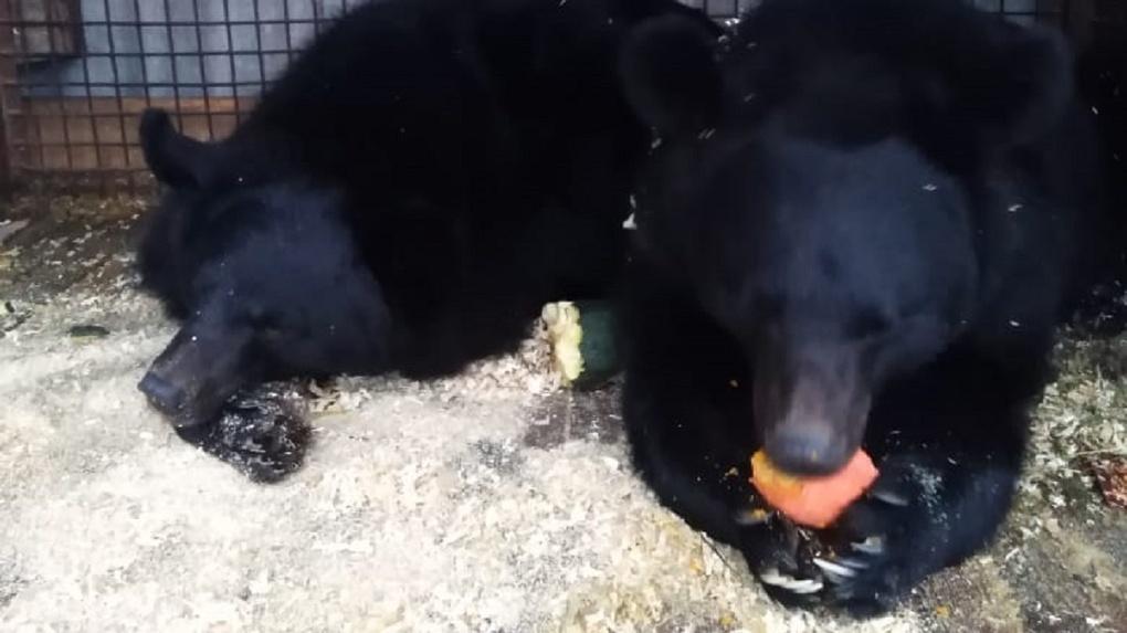 Дрессировщица отказывается передавать замерзающих под Новосибирском медведей в зоопарк