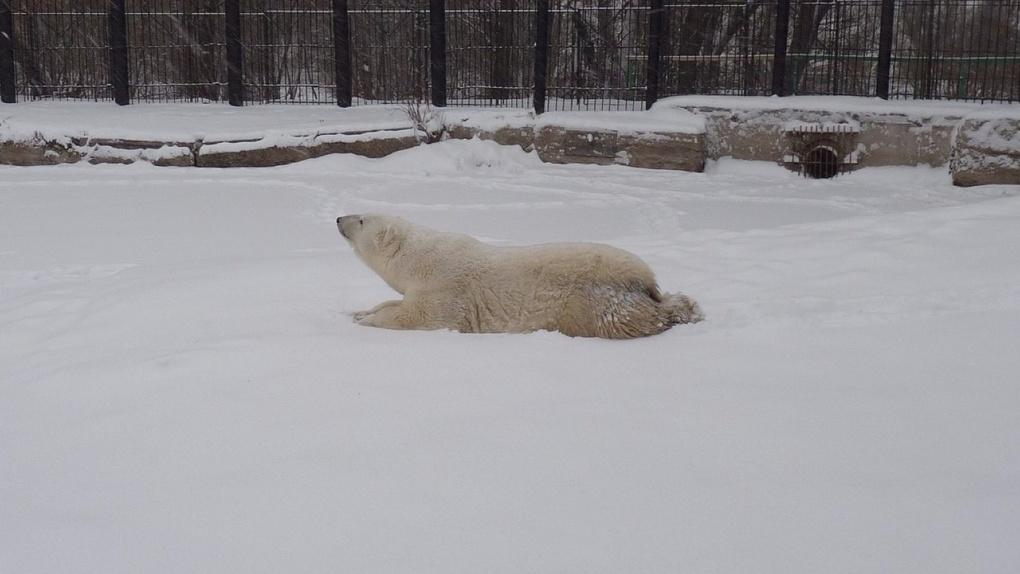 Белая медведица Гуля в зоопарке обрадовалась наступившим морозам – ФОТО
