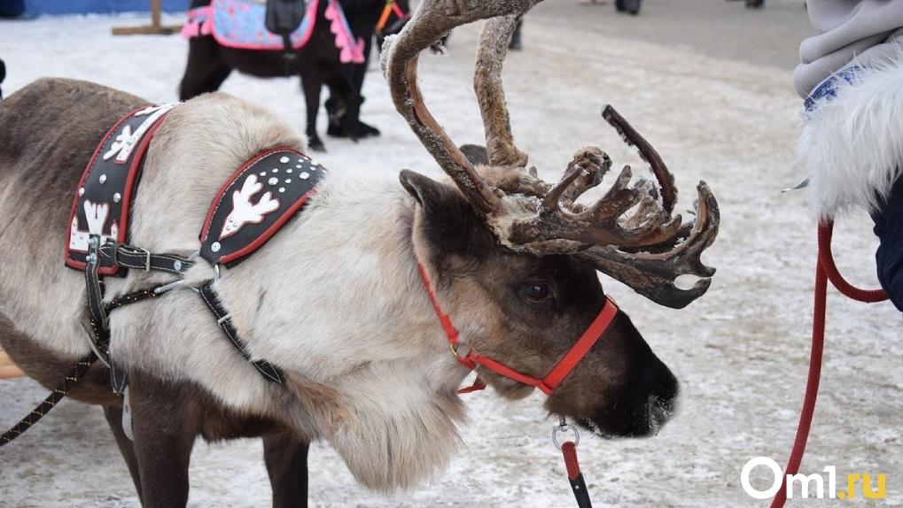 Бежал в страну Оленью. По улицам Омска бегал настоящий северный олень. ВИДЕО