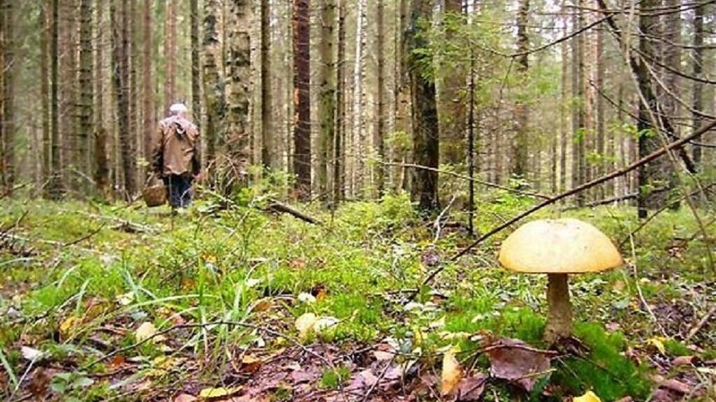 Почти полсотни грибников потерялись в новосибирских лесах с начала года