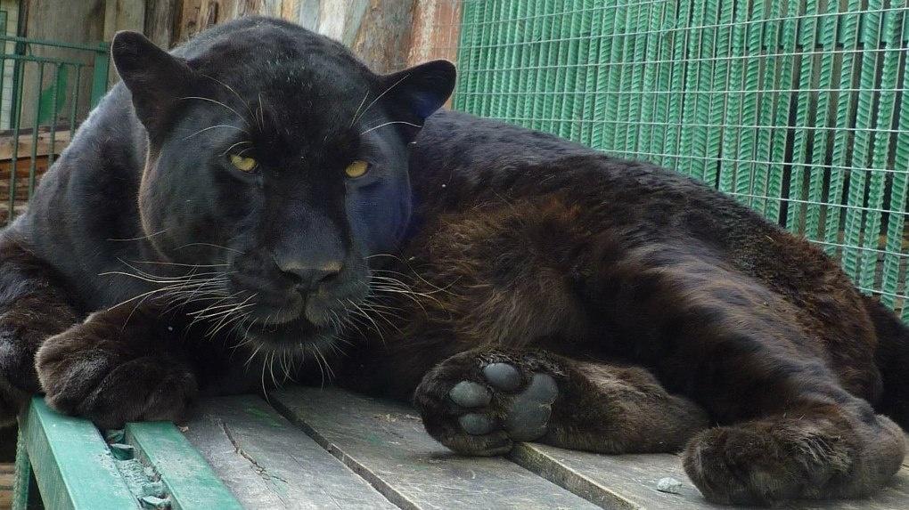 В Большереченском зоопарке появится чёрный леопард за 300 тысяч рублей