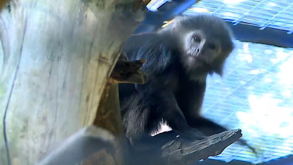 Новосибирский зоопарк показал забавное видео из жизни обезьян