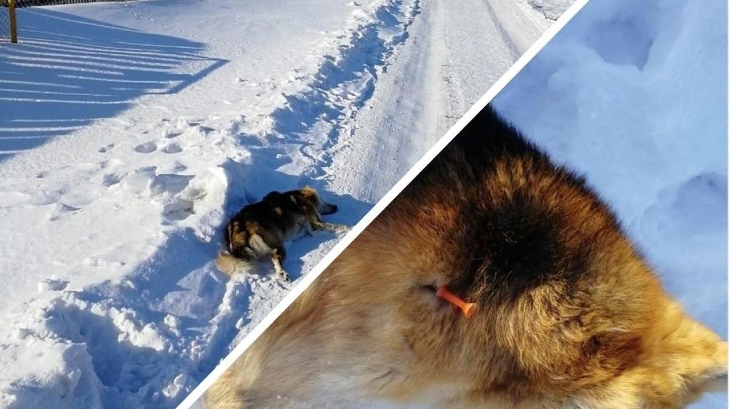 В Новосибирской области возбудили уголовное дело из-за отстрела бездомных собак
