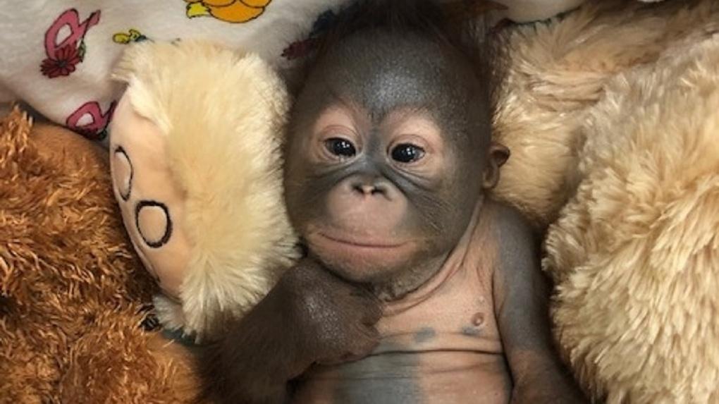 Обезьяне исполнился год: Новосибирский зоопарк показал забавные фото орангутана-именинницы