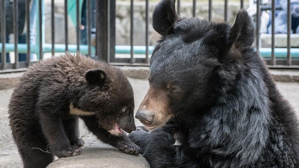 Счастливы вместе: Новосибирский зоопарк показал семьи медведей, обезьян и лебедей
