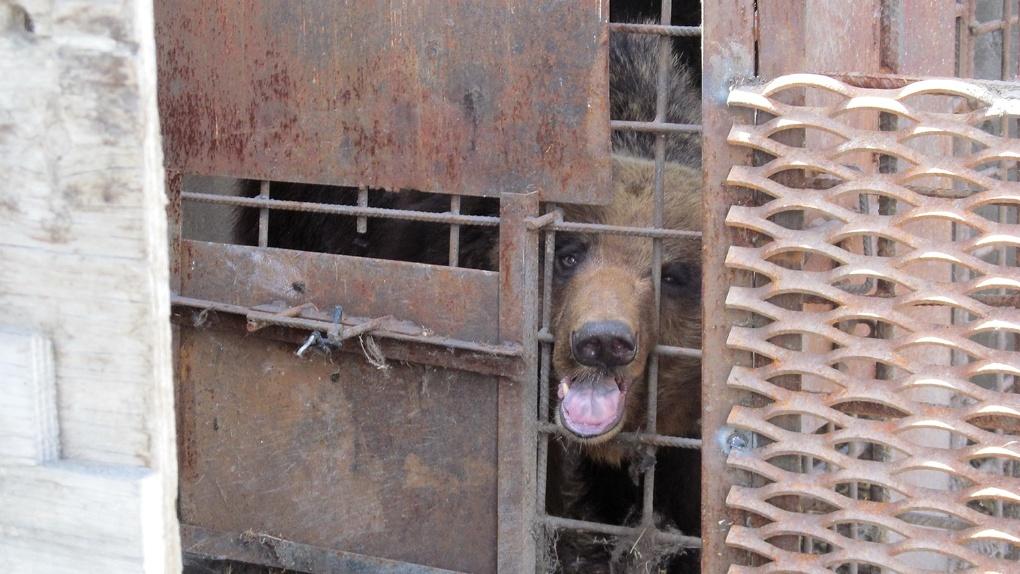 Медведя, откусившего пьяному омичу руку, держат в качестве сторожевого пса