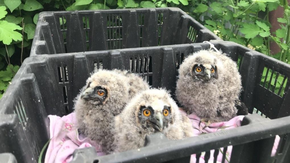 Птенцов совы, убитой омскими живодерами, отправляют в Новосибирск