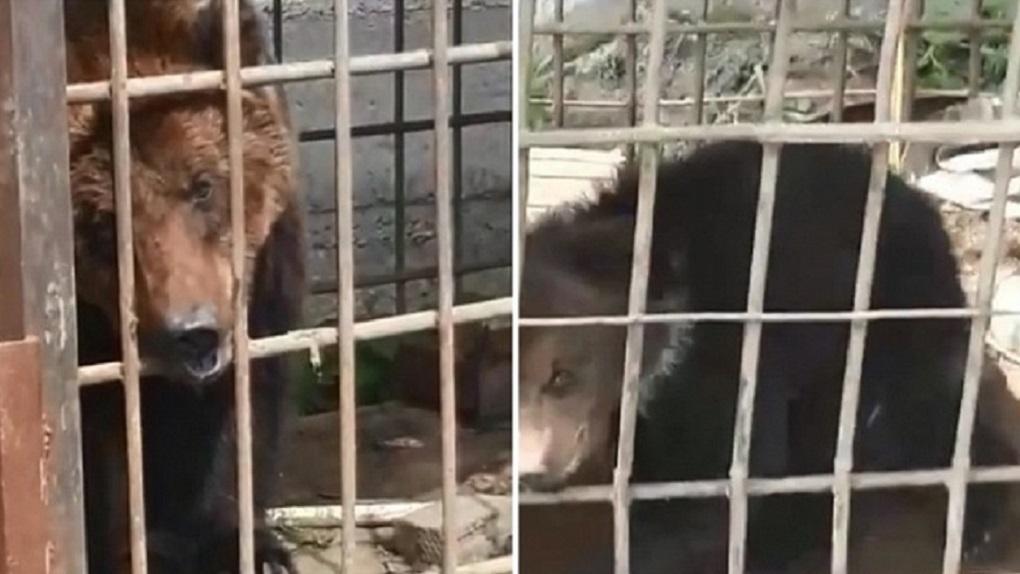«Медведи умирают от жары»: новосибирцев шокировало видео жестокого обращения с дикими животными